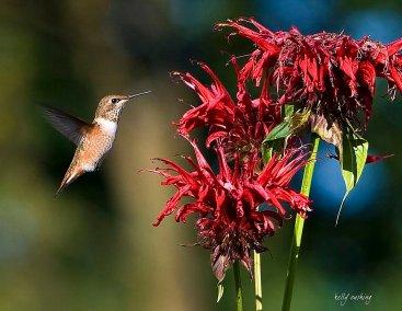 Hummingbird by Kelly Cushing