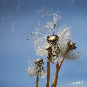 dandelion-coaster-kelly-cushing