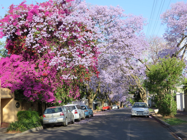 Jacarandas mixed with purple Bougainvillea in Melville