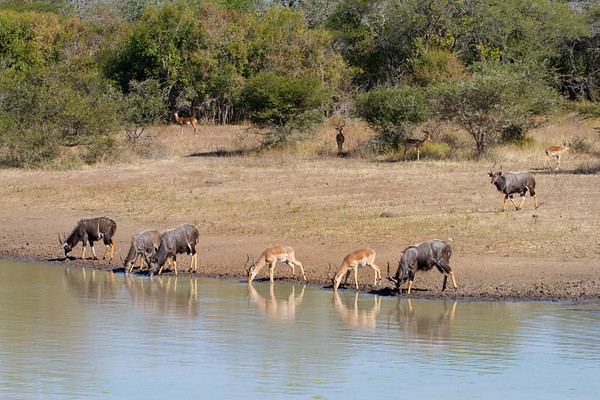 Nyala and Impala