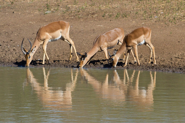 Impala Reflections