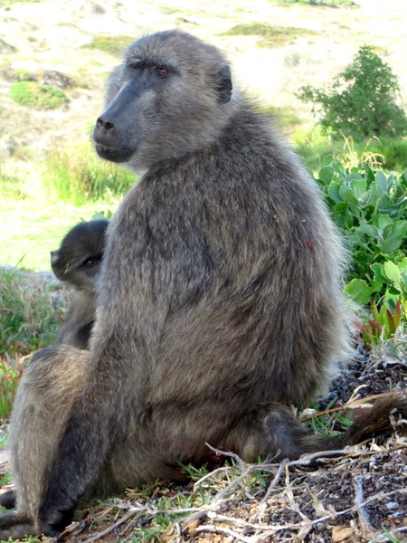 Mama baboon and baby