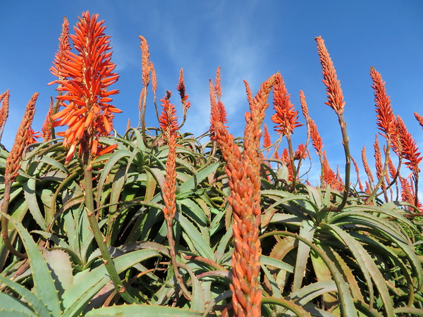 Beautiful Aloe