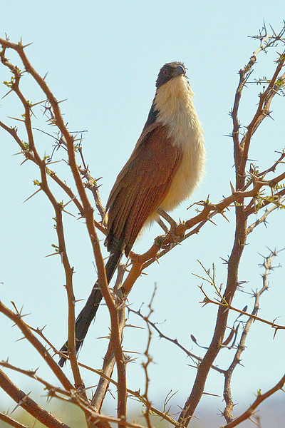 Burchall's Coucal