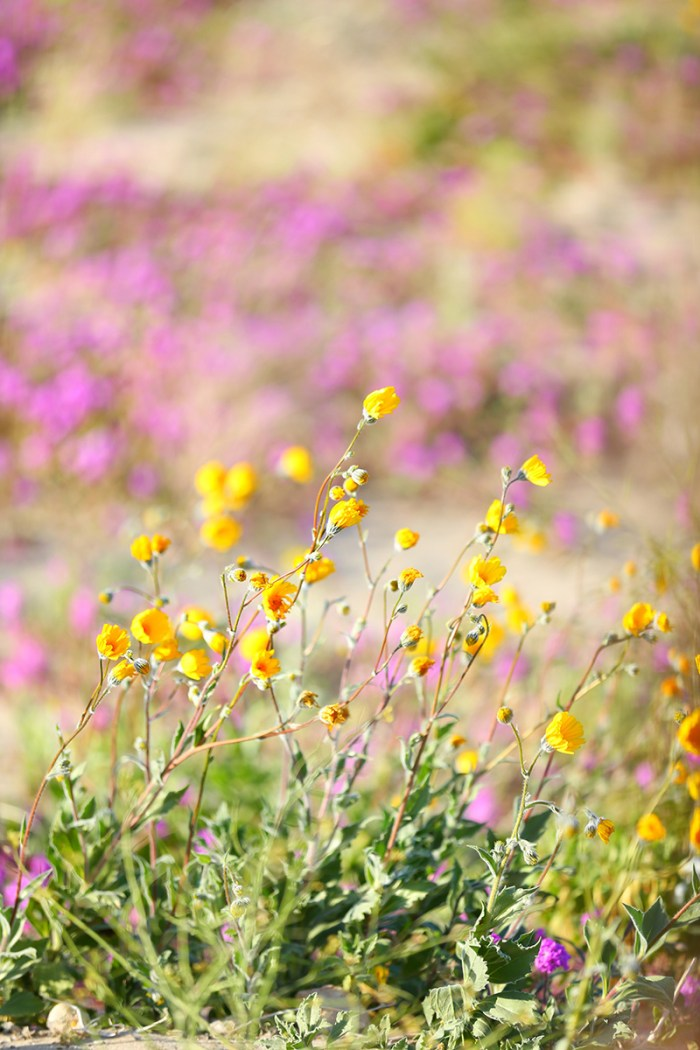 Super Bloom | Kelly Golightly