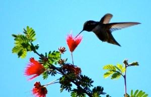 Hummingbird Palm Desert, CA