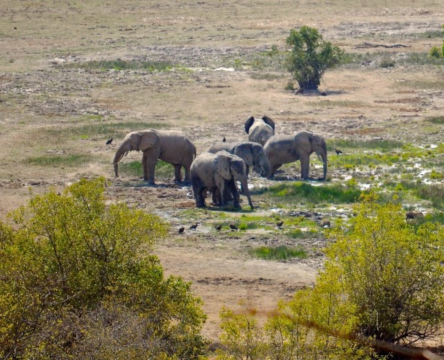 Elephants at the watering hole in Mole National Park.  A Pachyderm version of circling the wagons.