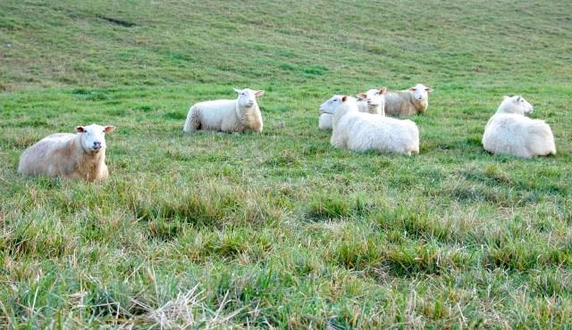 sheep lying in a field