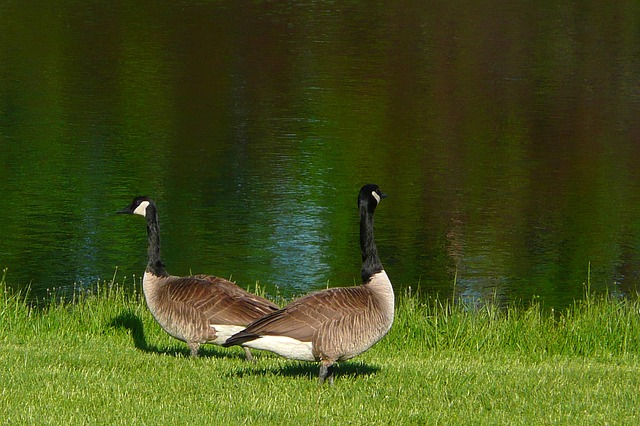 canada-geese-54948_640