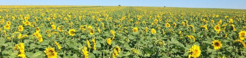 Sunflower Field, Moldova
