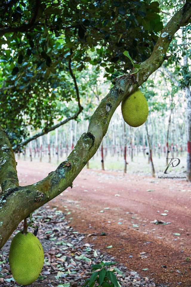 2016-thailand-jackfruit-farm-39-web