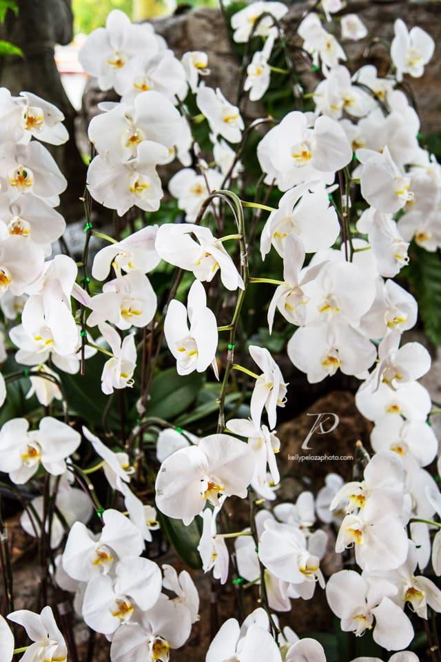 bangkok-orchids-1