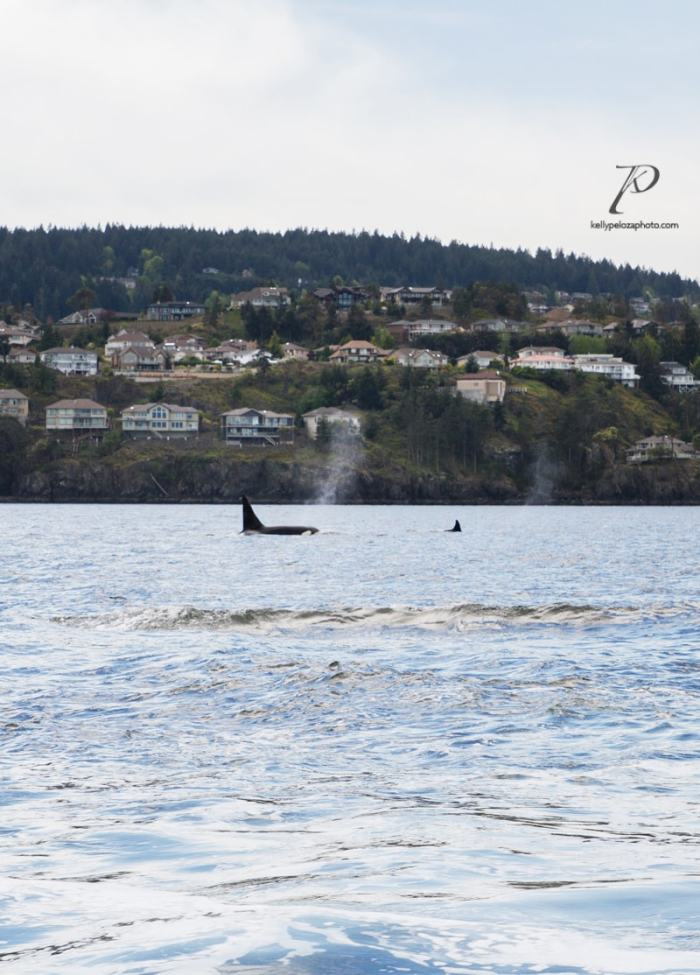 whales-vancouver-0006