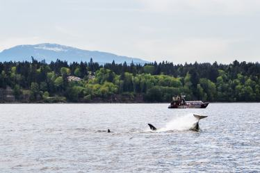whales-vancouver-0002