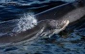 Bottlenose Dolphin Calf