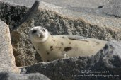 Harp seal yearling