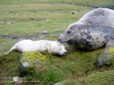 Grey seal mother and pup