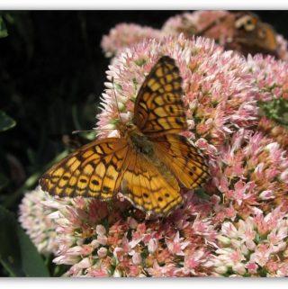 How to Attract Butterflies in Your Garden