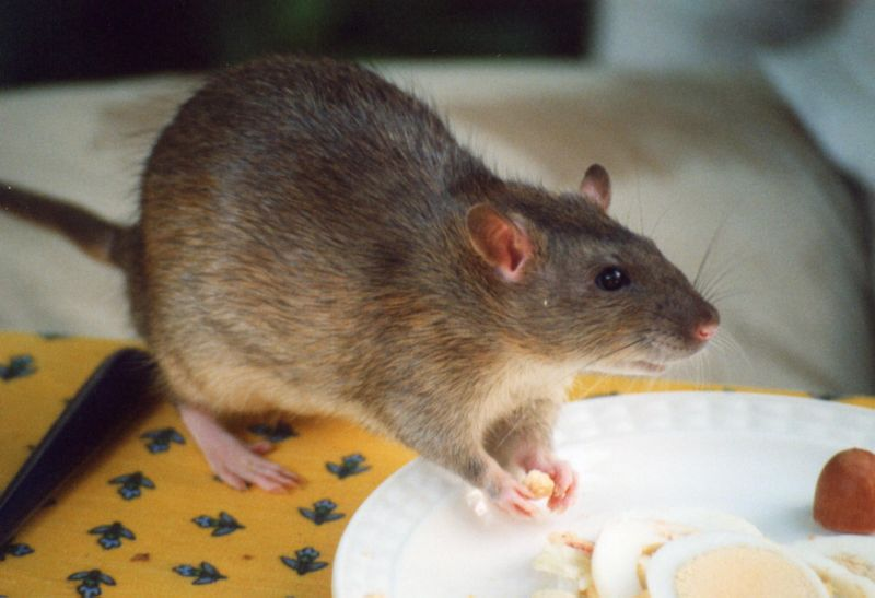How To Get Rid Of Rats For Good
