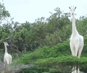 الزرافة البيضاء الوحيدة في العالم