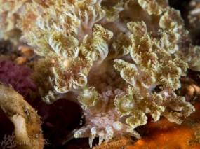 Marionia sp. 5 or 6