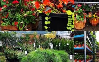 Garden centre in Kelowna, annuals, perennials, flowers, vegetables, basket stuffers.