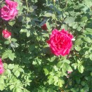 ruths-rose-garden-blooms-florida-southern-college