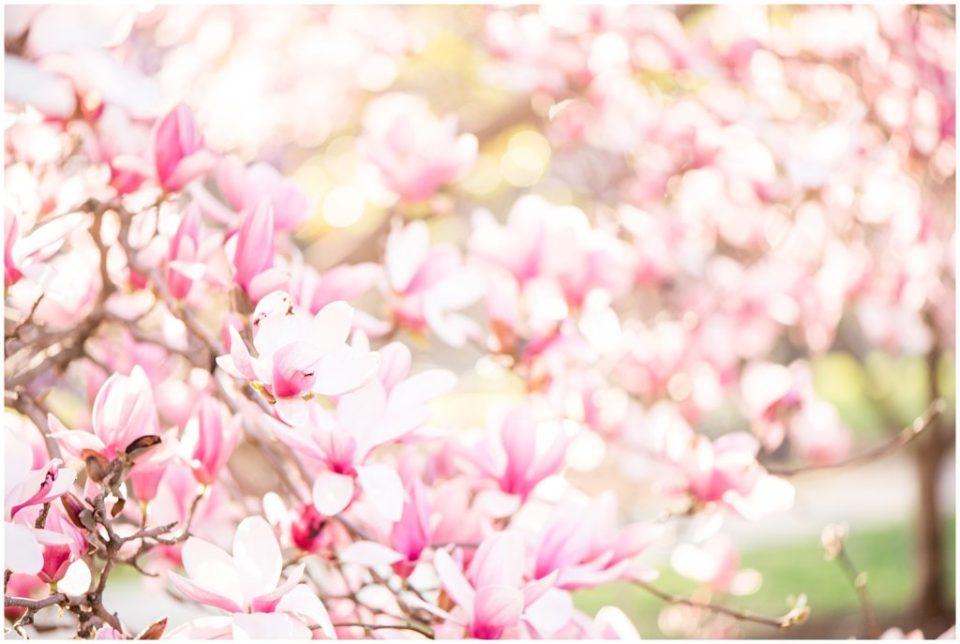 Blooming Magnolia Trees