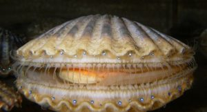 A live scallop slightly open with blue eyes