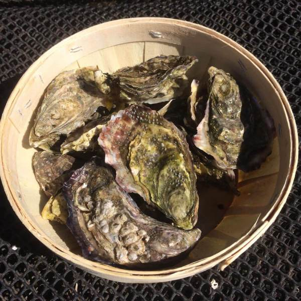 Wester Ross Oysters in a wood basket