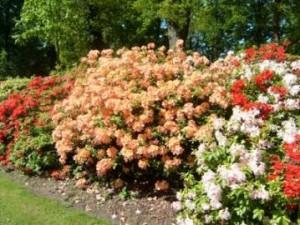 Ciri bunga Azalea