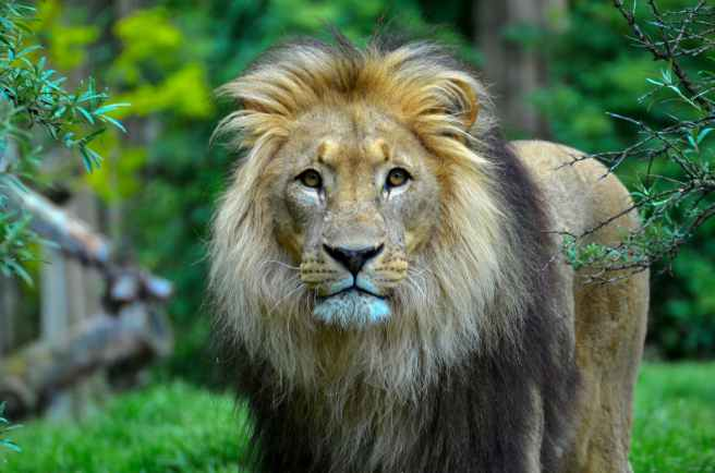 close up photography of a lion