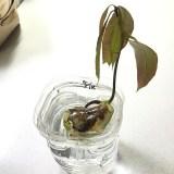 【週間】東京でマンゴー育ててます|葉っぱがバシバシ出てきたぞ(6/1-6/7)-第4回目