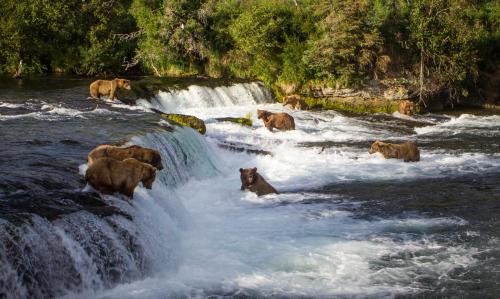 Brooks Falls Bears Fishing For Salmon In The Katmai National Park and Preserve