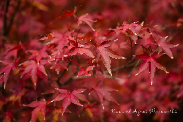 A Branch of Red Momiji Leaves