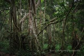 Portrait Of Ficus Microcarpa
