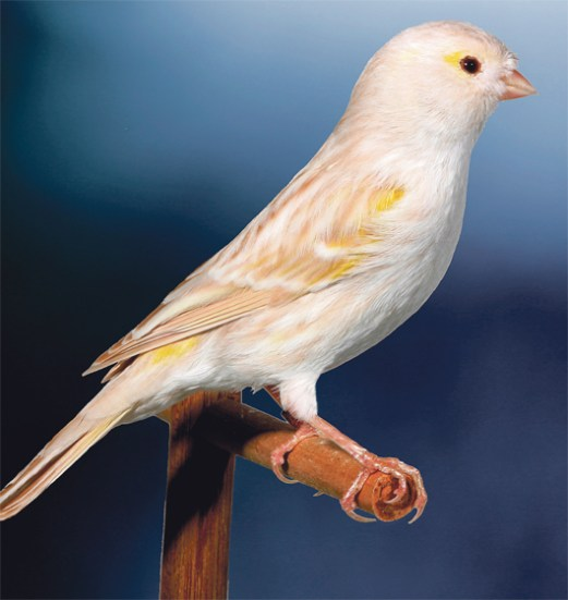 Mosaic yellow isabel satinette female