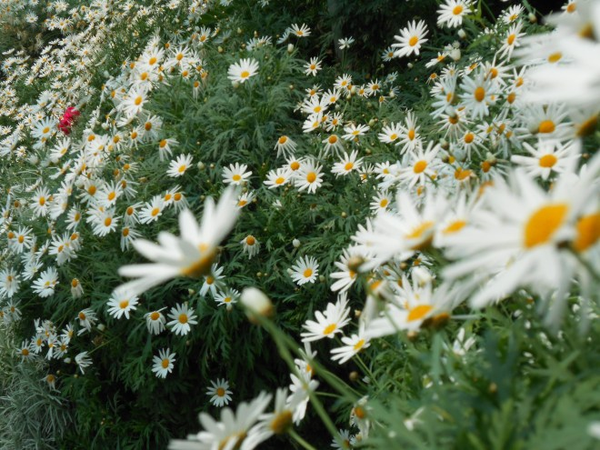 [Oh .... carpets of White Daisies! ]