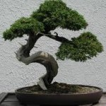Bonsai Graduation Gift
