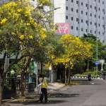 Waktu dan Tempat untuk Melihat Bunga Tabebuya Mekar di Surabaya
