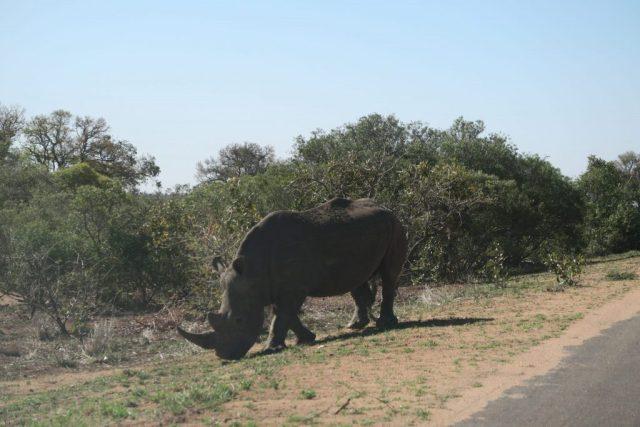 Kruger-Rhino