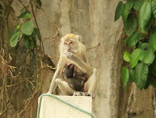 Rude Monkey Gives Me the Middle Finger in Kuala Lumpur's Batu Caves