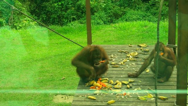 Orangutan Sanctuary, My Experience Traveling to the Orangutan Sanctuary in Borneo Malaysia