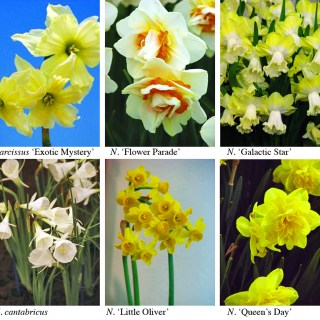 Daffodil Nursery History with Brent Heath