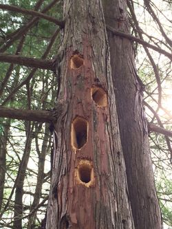 Chamaecyparis_pisifera_woodpecker_damage