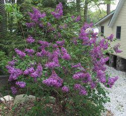Lilac 'Pocahontas' copy