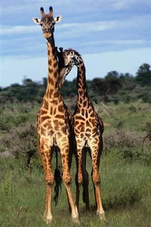 Chuyện tình 2 chú sư tử đồng tính ở Kenya: Thảo nguyên mát lành, anh làm em vui - Ảnh 5.