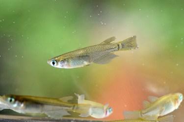 金魚とメダカを同じ水槽で混泳させてもいい?混泳させる時の方法