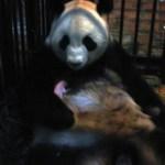 Vol.167 パンダの死と呼吸リハビリ
