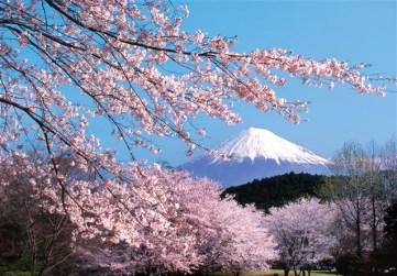 Sakura and Mt Fuji http://saifalqrim.com/vb/showthread.php?t=16256